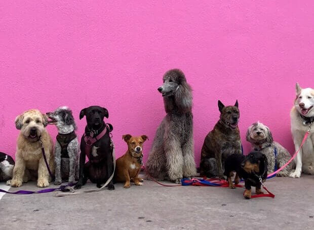 A range of dog breeds sit patiently against a pink wall.